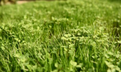 Green manure to protect the soil in the garden