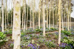 The Silver Birch forest in the Yeo Valley Organic Garden