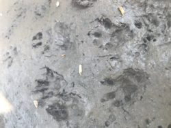 What animal made these footprints?
