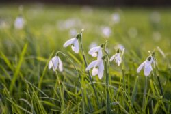 Snowdrops in the Yeo Valley Organic Garden