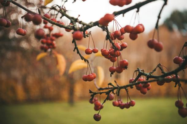 Autumnal berries in the Yeo Valley organic garden