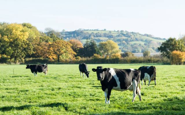Yeo Valley organic cows