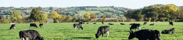 Cows in the autumn fields on the Yeo Valley Organic farm