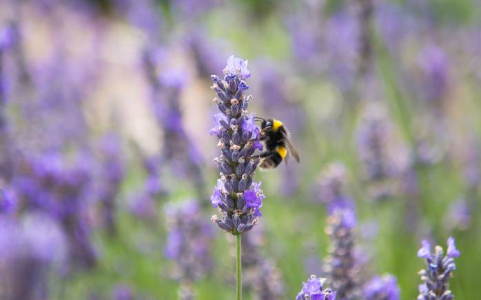 A bee on a lavender flower in Yeo Valley's organic garden