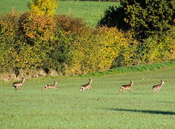 Deer in the fields of the Yeo Valley organic farm
