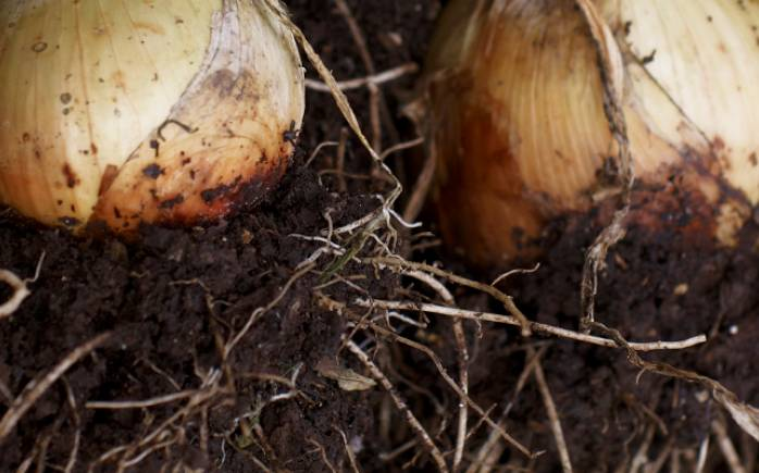 Tasty onions courtesy of organic compost at Yeo Valley