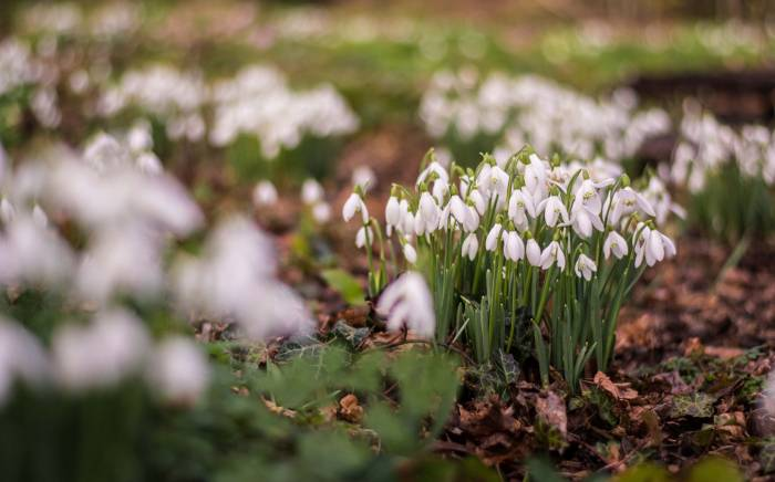 Snowdrop festival in Yeo Valley organic garden open to visitors